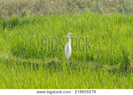 Paddy rice field background . Wader, median egret