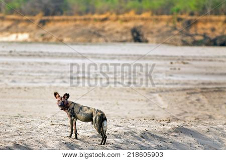 Solitary African Wild Dog (Lycaon pictus) with a bloody face standing alert on the dry sandy riverbed in South Luangwa National Park Zambia