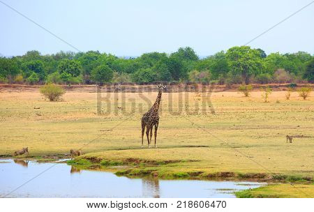 Giraffe, Warthog and Baboons on the open African Plains with a natural riverbank and tree background. South Luangwa National Park Zambia poster
