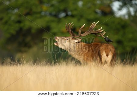 Red deer stag roaring in autumn during the rut with jackdaw sitting on his back, England.