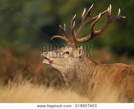 Close up of red deer stag during the rut, England.
