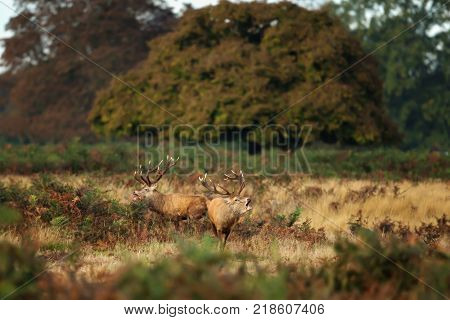 Two red deer roaring during the rutting season in autumn.