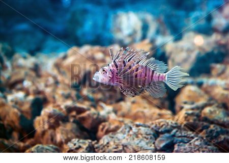 Exotic tropical Devil fire fish, or common lion fish Pterois miles in aquarium.