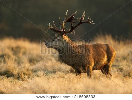 Red Deer stag with a blade of grass on antlers standing in the tall yellow grass during rutting season in autumn.