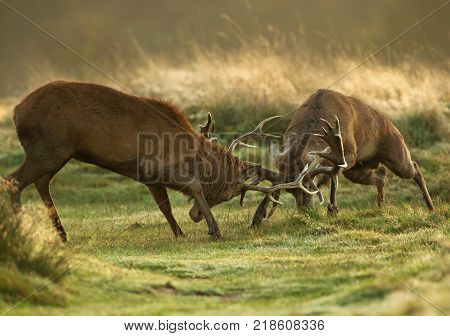 Two red deer stags fighting over dominance during rutting season on an early autumn morning.
