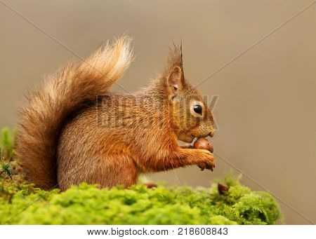 Red Squirrel eating nuts on a mossy log against clear background on the forest in Scotland, UK.