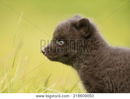 Very cute blue morph arctic fox cub standing alone in the meadow in summer in Hornstrandir Nature reserve, Iceland.