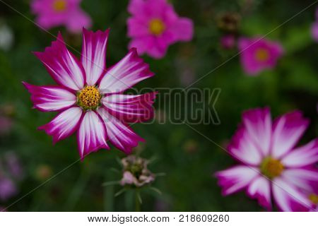 macro of beautiful daisy or Cosmos bipinnata Cav