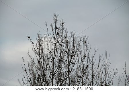 flock of many birds on the bare tree on cloudy autumn day