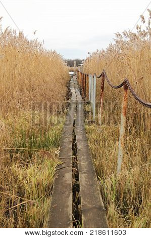 narrow wooden catwalk leading through the growth of sear reed in autumn