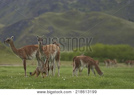 South American Grey Fox (Lycalopex griseus) searching for food amongst a group of Guanaco (Lama guanicoe) in Valle Chacabuco, northern Patagonia, Chile.