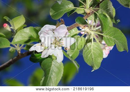 blooming apple tree. Pink delicate flowers and buds.