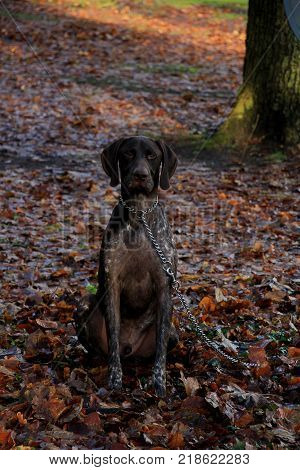 German Shorthaired Pointer, 3 Year Old Male Dog