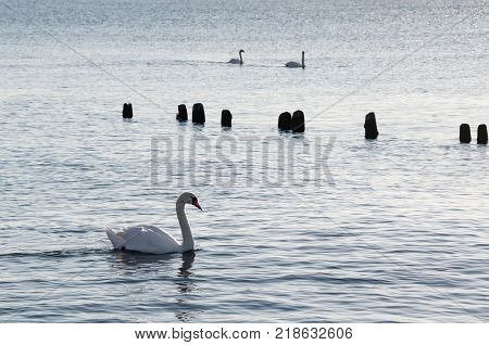 Mute swans (Cygnus olor) swimming in the sea at sunset one swan in the foreground two on the background.