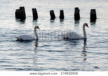 A pair of mute swans (Cygnus olor) swimming in the sea at sunset.
