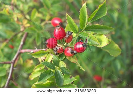 little ladybug on bunch of red briar berries