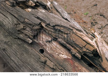 bunch of black carpenter ants prepare to organize a colony in the old rotten trunk