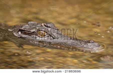 Close-up Shot Of Saltwater Crocodile