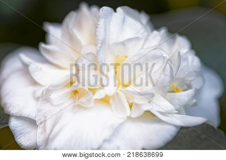 White camellia - Camellia japonica L. 'Noblissima' Theaceae