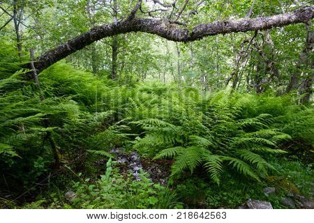 Lush norvegian forest with ferns bush. Landscape photography, Norway, Europe