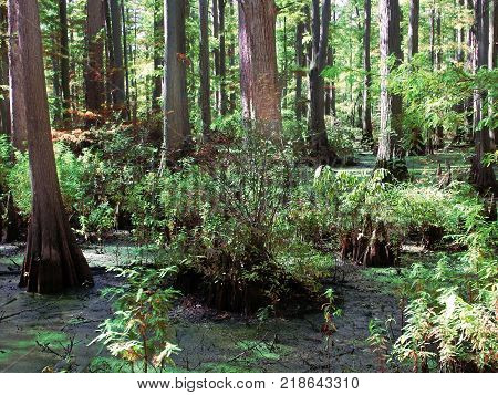 Cypress tupelo swamp at Heron Pond Little Black Slough Nature Preserve in southern Illinois