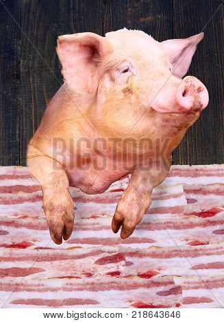 Pig looks out over the layers of lards on the wooden background. Sign-board for butcher's shop