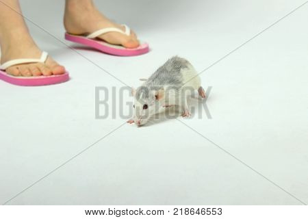 Female legs and Rat on the floor. Cute Little Rat on The Floor. Zoophobia, Pets, Rodents Concept.Rat Scare.