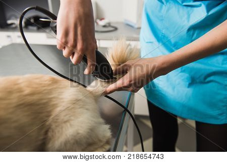 Little dog getting haircut. Female groomer trimming dog's tail.