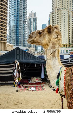 Camel on the Beach at Jumeirah Beach Residence in Dubai