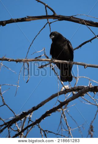 Close up of a black crow sitting on a dead tree branch with blue sky and out of focus branches in the background. Shallow depth of field. It is facing the camera and has its head tilted.