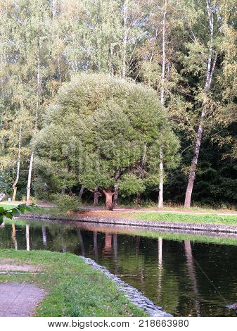 Beautiful tree in a Park on the shore of a pond or river. One tree surrounded by forest.