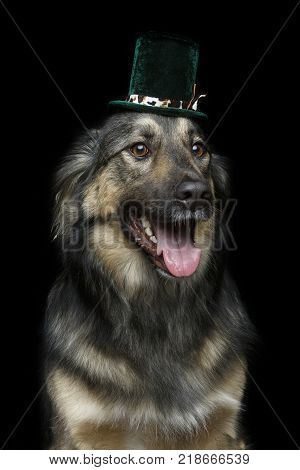 beautiful mixed breed dog in tall hat on black background. copy space.