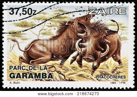 LUGA RUSSIA - OCTOBER 17 2017: A stamp printed by ZAIRE shows common warthog - a wild member of the pig family found in sub-Saharan Africa circa 1984