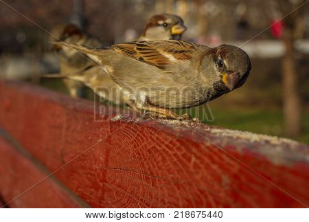 Eurasian Tree Sparrow or Passer montanus. Common bird isolated standing on red board. True sparrows, Old World sparrows