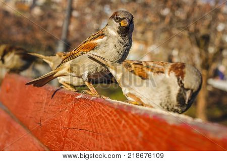 Group of sparrows eating bread. Bird feeder on a sunny morning autumn. True sparrows, or Old World sparrows