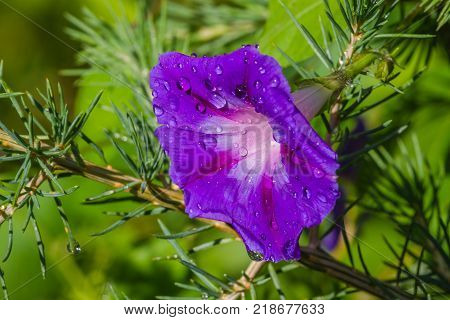 Violet flower or Bush Morning Glory, Bindweed . Its Latin name is Convolvulus Tricolor with pine branch. On green background