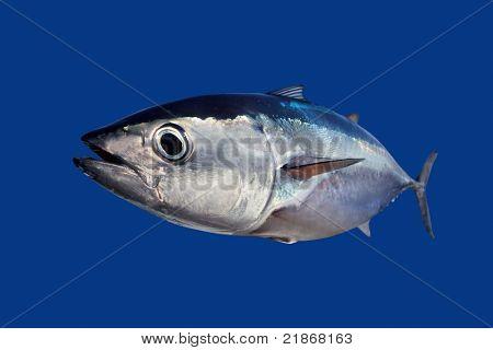 Thun Thunnus Thynnus Fischen isolierten auf blauen Hintergrund