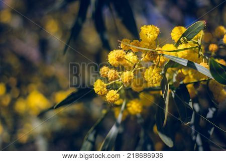 Blossoming of mimosa tree Acacia pycnantha, golden wattle close up in spring, bright yellow flowers, coojong, golden wreath wattle, orange wattle, blue-leafed wattle, acacia saligna. Vinage