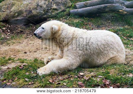 Polar bear (Ursus maritimus) lying on the grass