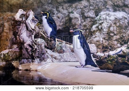 Northern rockhopper penguins (Eudyptes moseleyi) also known as Moseleys rockhopper penguin or Moseley's penguin