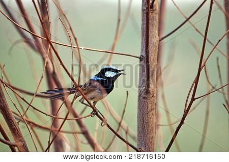 Adult male Superb Fairy Wren, Malurus cyaneus, singing while perched in dead tree branches at Wyangala, central west NSW, Australia. Side view.