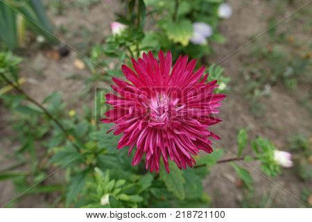 Cerise flower head of china aster in september