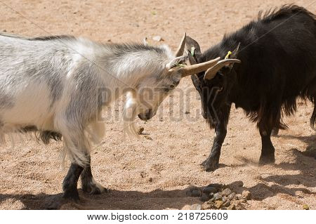 Two stubborn goats fighting and locking horns