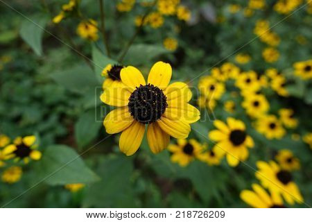 Closeup of yellow ray florets circling black cone of disc florets of rudbeckia