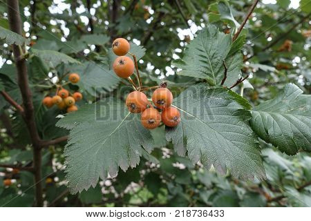 Leafage and unripe fruits of whitebeam tree