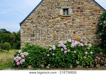A quaint stone cottage in Brittany France stands fronted by flowering bushes such as hydrangea hortensia and paniculata.