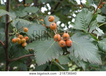 Unripe fruits and leafage of whitebeam tree