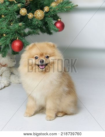 Lovely Pomeranian Spitz in a red sweater. The dog is a symbol of 2018. little yellow dog