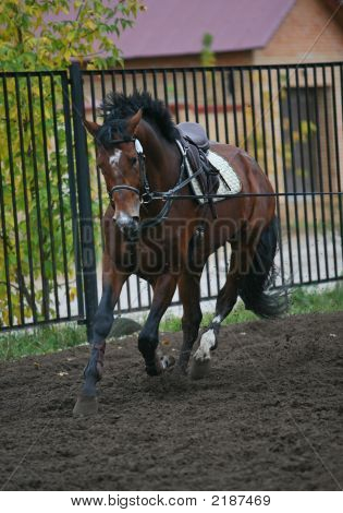 The Saddle Horse Running On A Cord