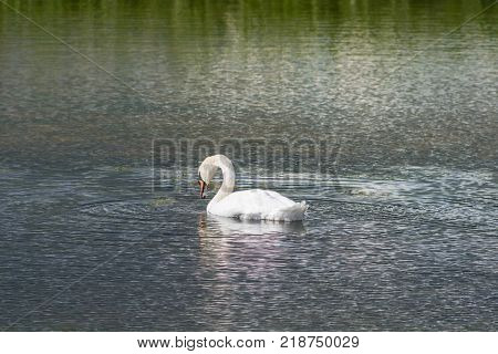 Mute Swan - Cygnus olorIn in lake water water with surrounding park trees in Ryton Pools, UK.